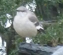 hope is the thing mockingbird crop 1 P1040412 copy